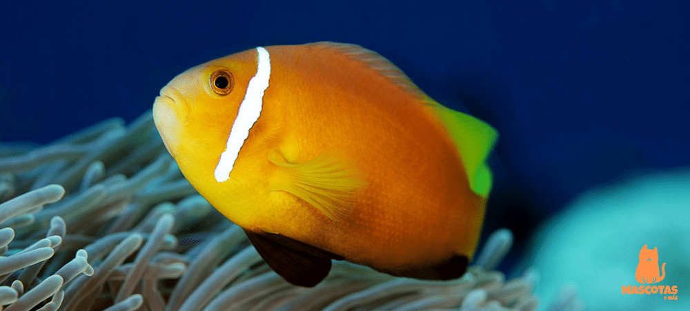 Amphiprion nigripes