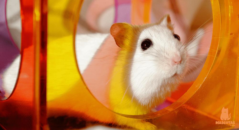 Hámster dorado blanco dentro de un juguete
