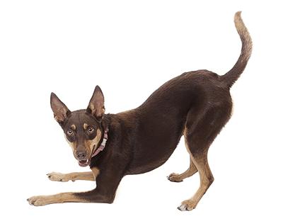 Perro de la raza Pinscher miniatura jugando