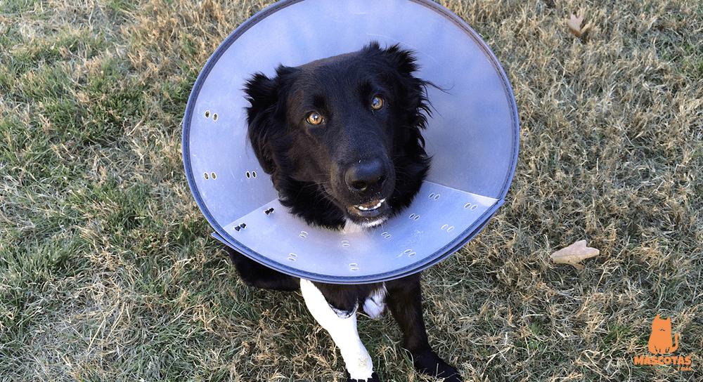 Perro de la raza border collie con collarín