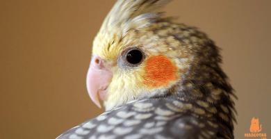 ¿Cómo saber si una ninfa es macho o hembra?