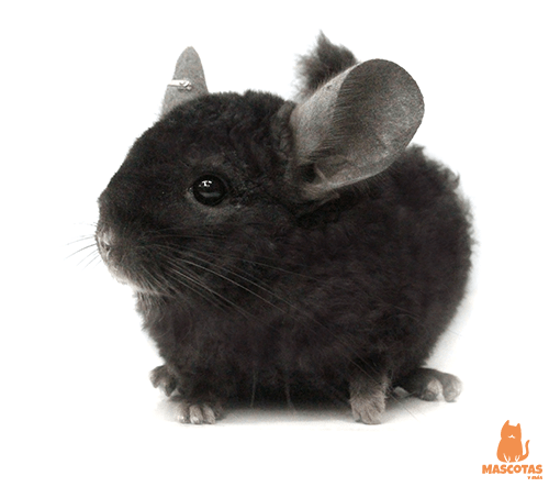 Chinchilla negra