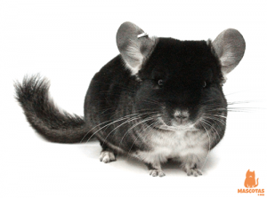 Chinchilla oscura