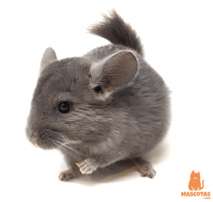 Chinchilla plateada