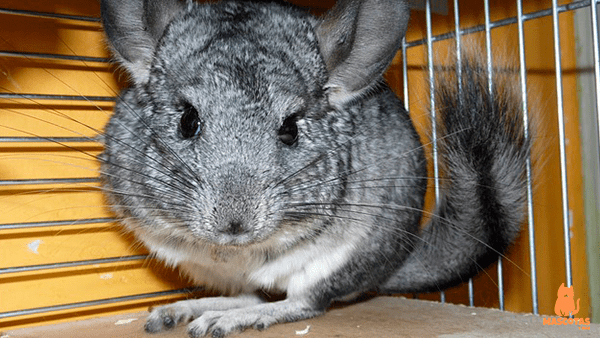 Chinchilla planteada