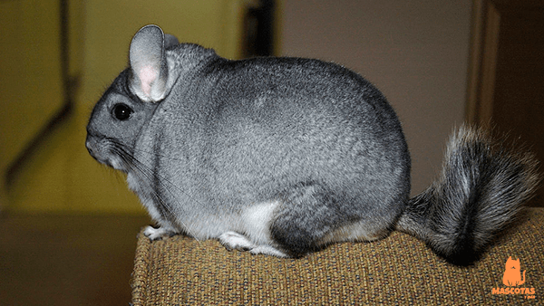 Chinchilla gris