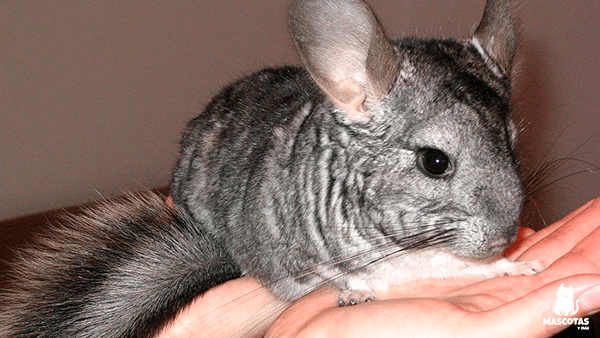 Chinchilla cola larga