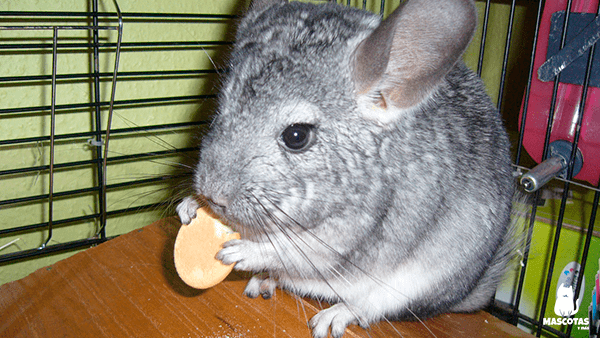 Chinchilla comiendo una galleta