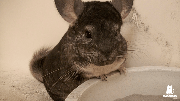 Chinchilla baño