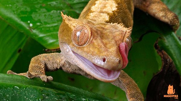 Gecko lamiéndose