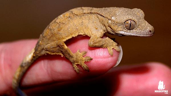 Gecko pequeño