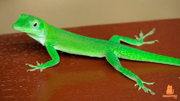 Gecko verde