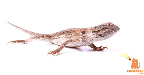 Alimentación dragón barbudo