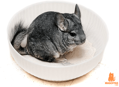 Chinchilla bañándose en arena para chinchillas