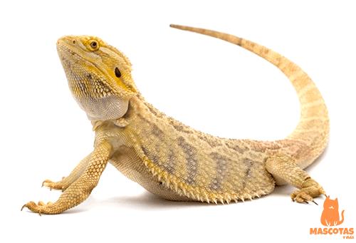 Ejemplar dragón barbudo