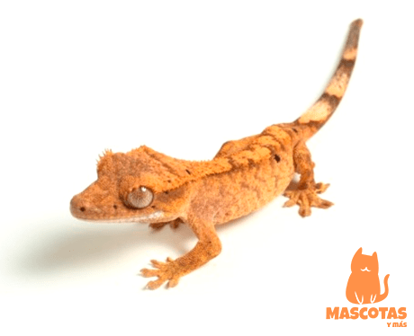 Gecko crestado