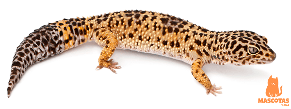 Gecko leopardo adulto