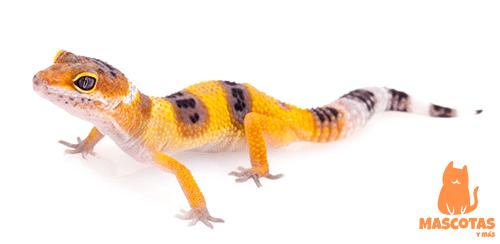 Gecko leopardo cría