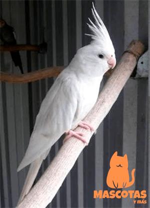 Ninfa albina