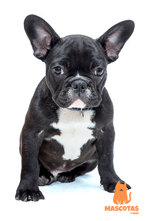 Bulldog negro