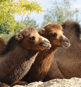 Diferencias entre un camello y un dromedario