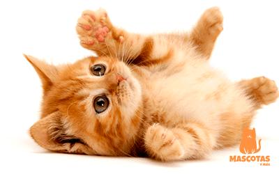 Gato pequeño tumbado