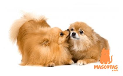Perros raza Pomerania