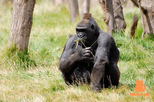 Agresividad gorila