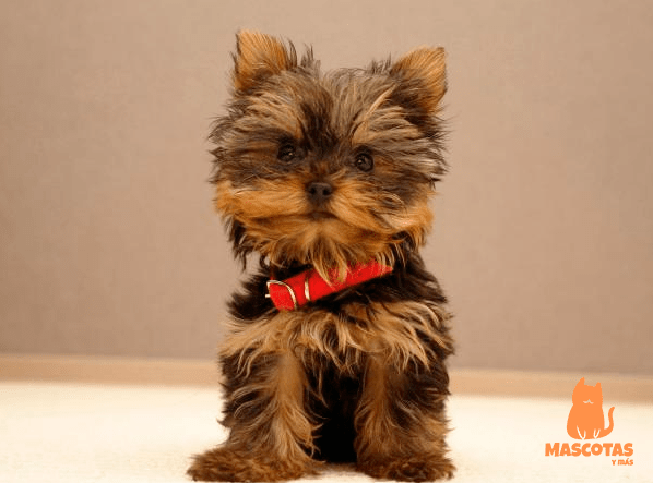 Corte pelo yorkshire cachorro