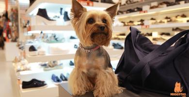 5 tipos de corte de pelo para un Yorkshire Terrier