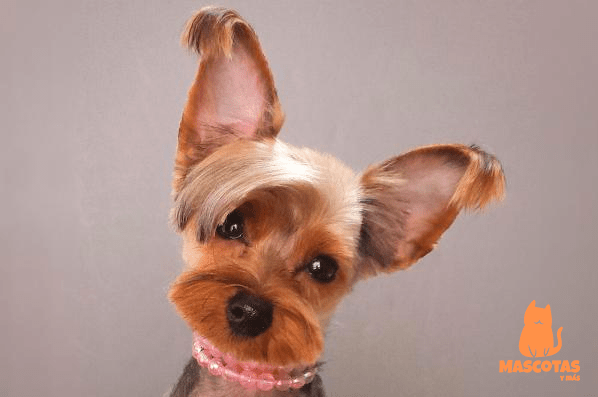 Cortes pelo yorkshire terrier