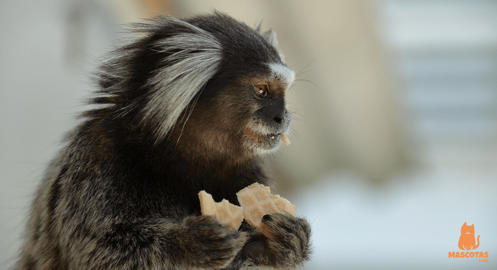 El mono tití como mascota