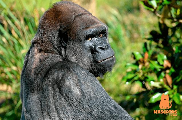 Fuerza gorila adulto