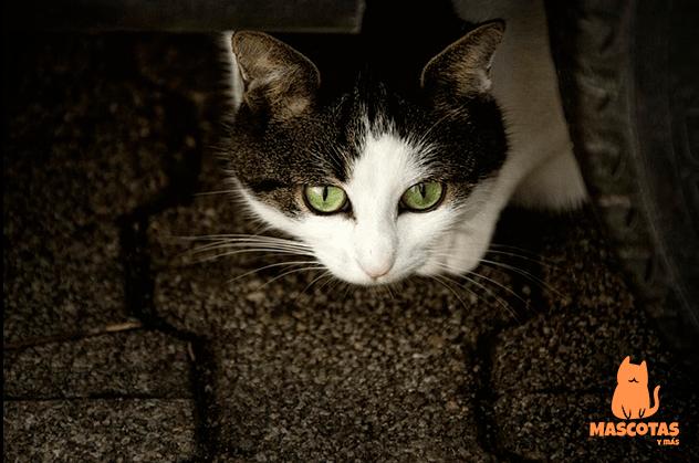 Gato moribundo se esconde