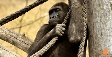 La fuerza de los gorilas