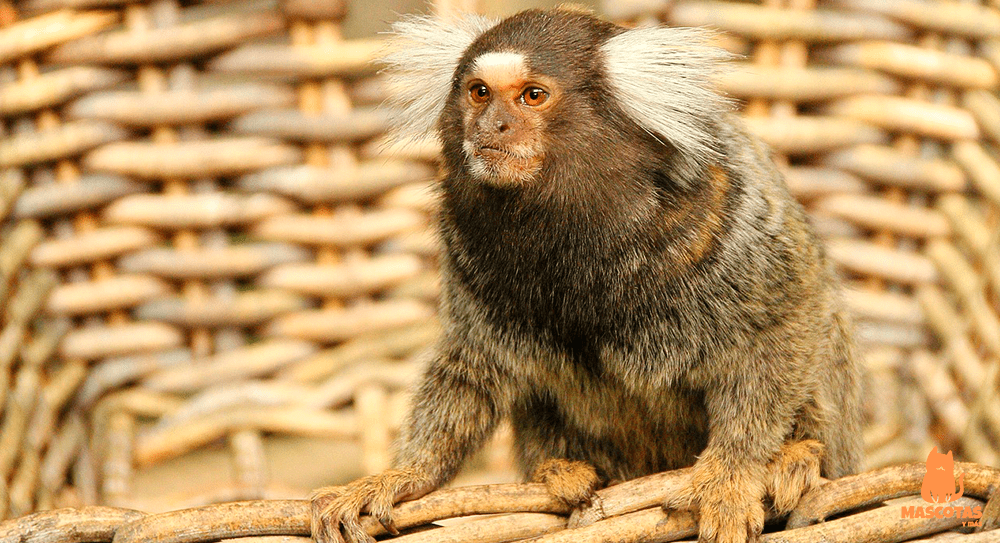 Legalidad mono tití