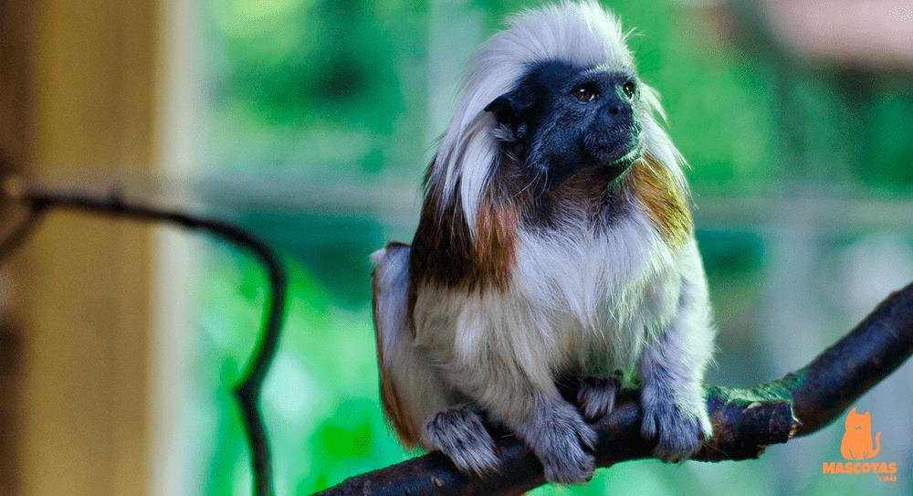 Mono tamarin