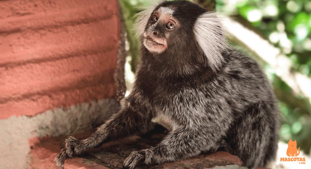 Mono tití mascota