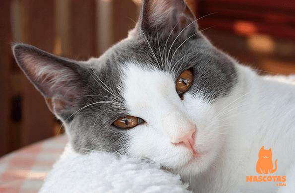 Personalidad gato bicolor