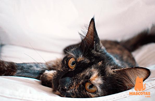 Personalidad gato carey