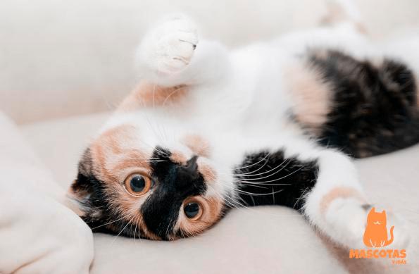 Personalidad gato tricolor