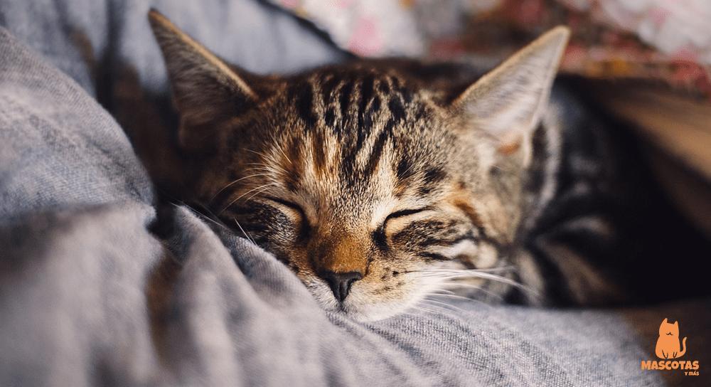 ¿Por qué mi gato no ronronea?