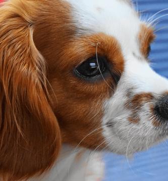 Qué es el pedigree en los perros