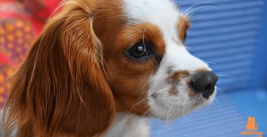 ¿Qué es el pedigree en los perros?