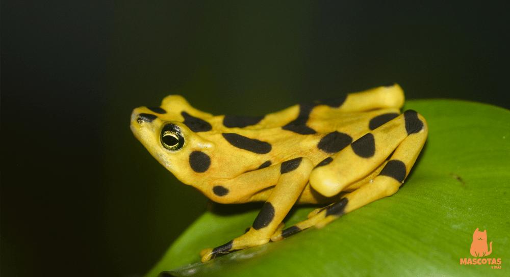 Rana atelopus