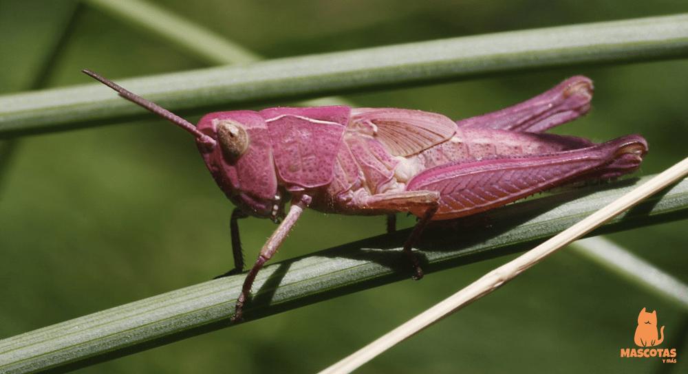 Saltamontes rosa
