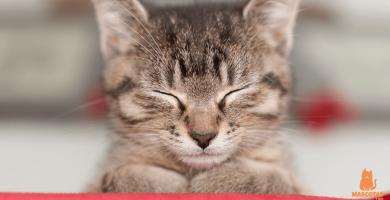 La tiña en gatos: Contagio y tratamiento
