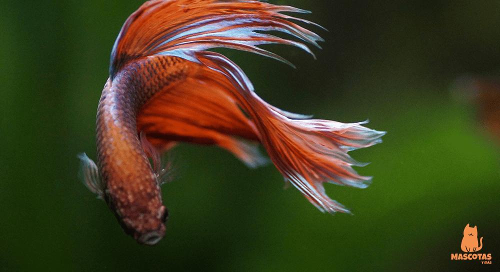 Nombres para peces Betta macho y hembra
