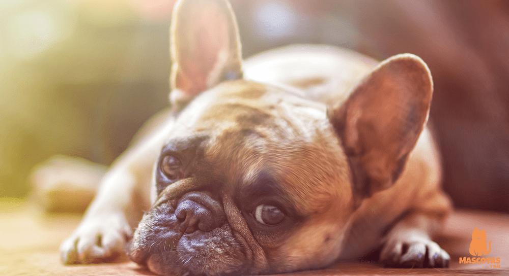 Traqueítis en perros