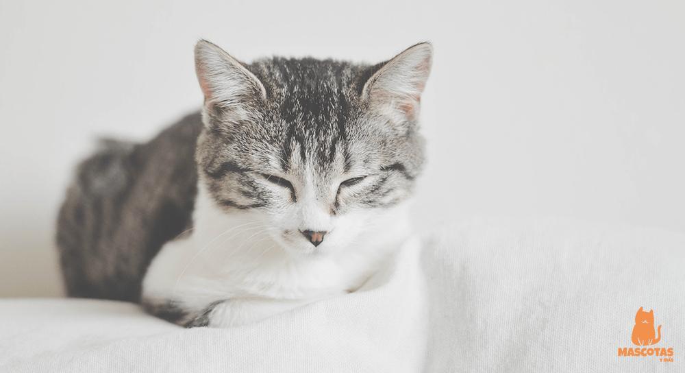 Por qué mi gato ronronea